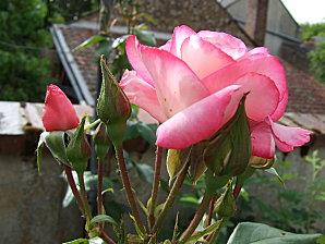 rose et chevrefeuille juin 2010 003