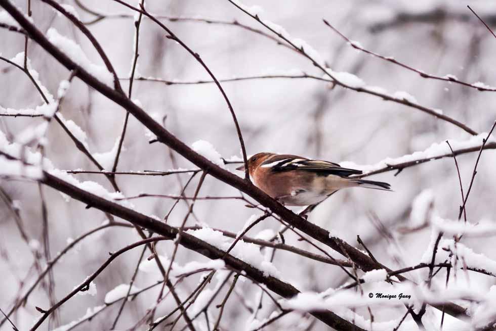 Pinson des arbres en hiver