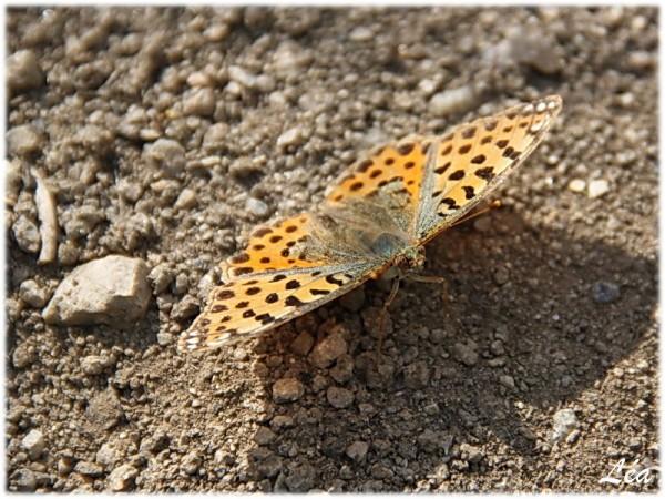Papillons-4326-petit-nacre.jpg