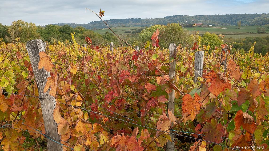 Bréry : le vignoble vire au rouge
