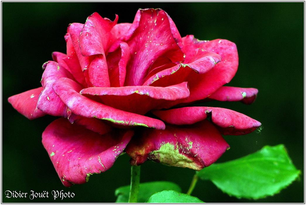 Rose / Rosa