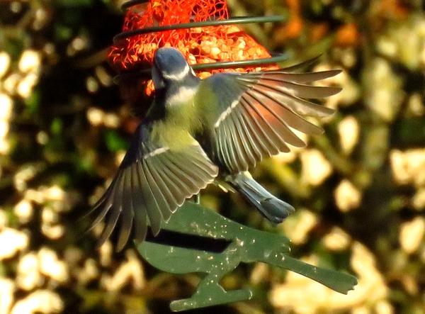 Comme les rouges-gorges les mésanges bleues ont été fidèles au jardin cet hiver....