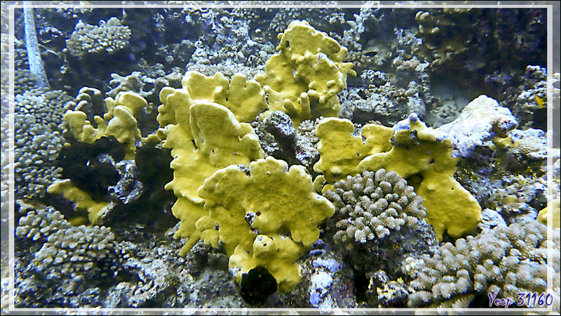 Corail jaune et Eponges noires - Tumakohua (passe sud) - Atoll de Fakarava - Tuamotu - Polynésie française