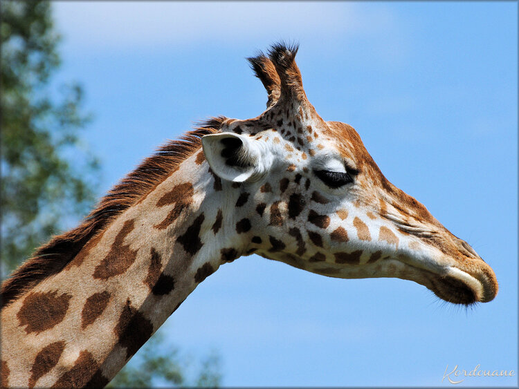 Photos de Girafes au Zoo de Bordeaux Pessac
