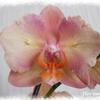 phalaenopsis_bord_dentelé02