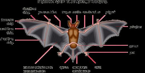 morphologie chauve-souris