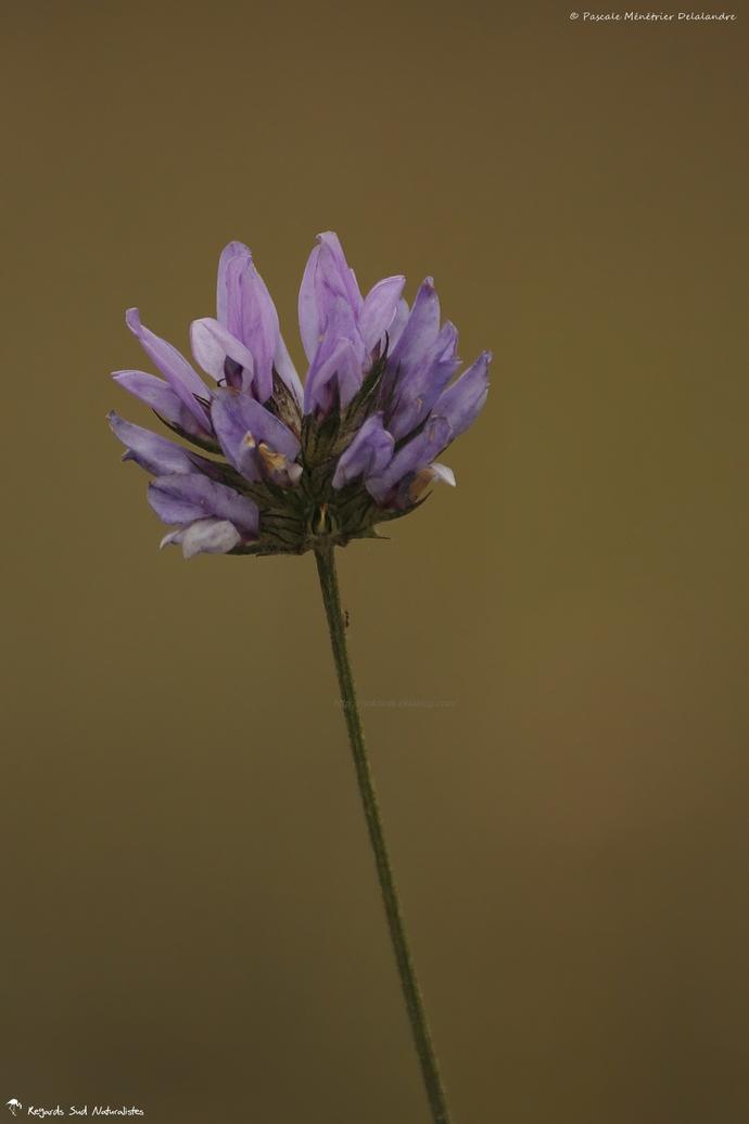 Psoralée bitumineuse - (Bituminaria bituminosa (L.) Stirton.)