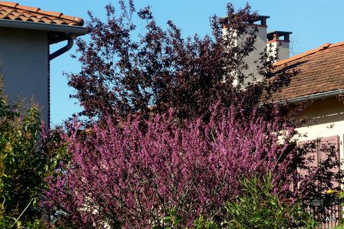 Arbustes en fleur : tamaris et forsythia