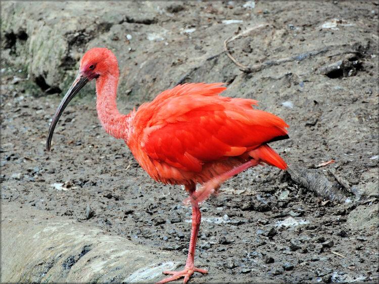 Photo d'Ibis rouge - Zoo de la Boissière du Doré