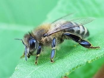 abeille 3