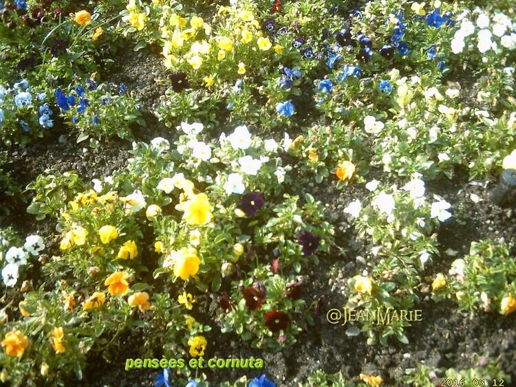 les pensées et les cornutas en pleines fleurs