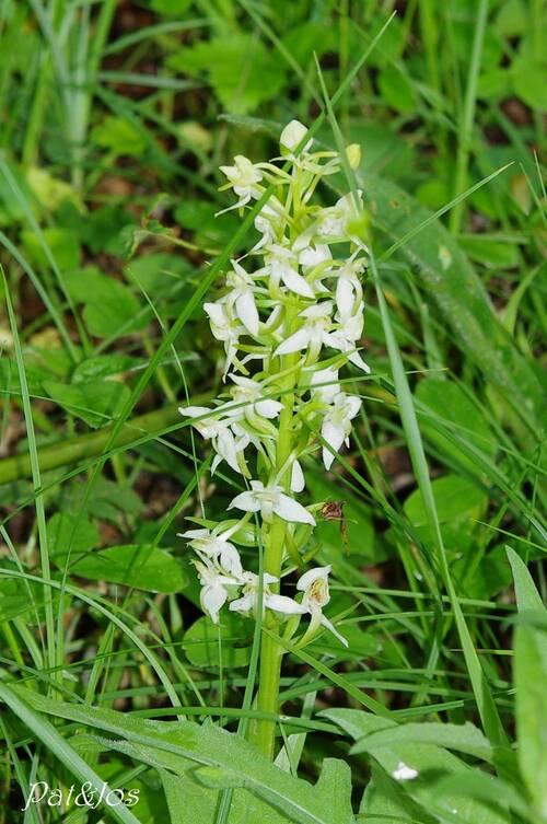 Orchidées sauvage