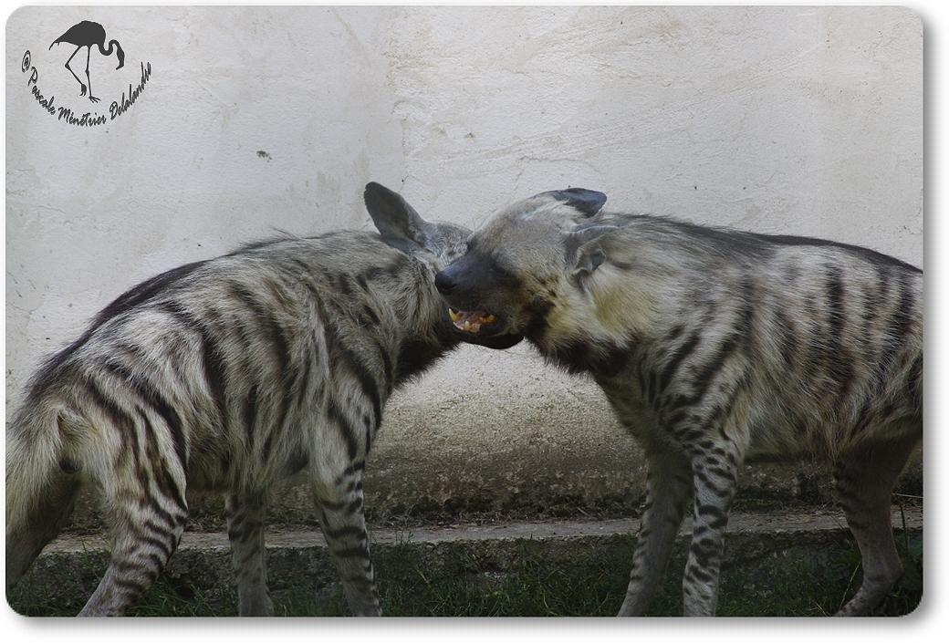 Hyènes...