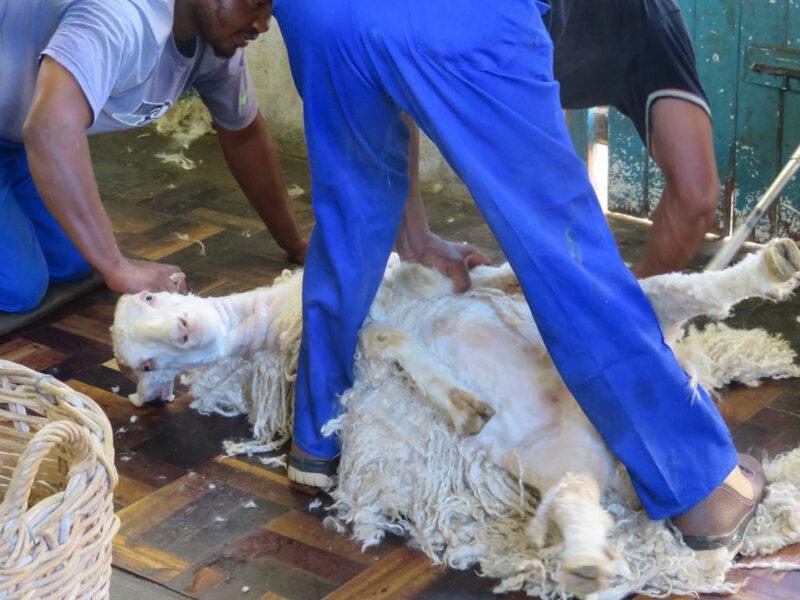 Une enquête choc de PETA Asie révèle l'horreur derrière l'industrie du mohair en Afrique du sud