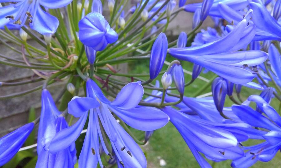 le bleues  en fleurs .
