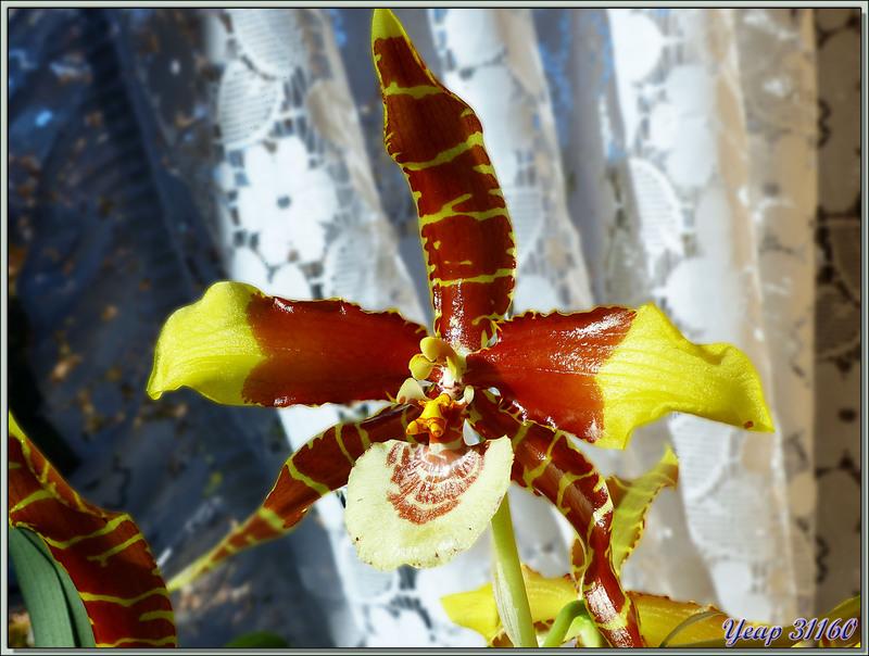 Orchidée Rossioglossum grande et son éperon - Milhas - 31