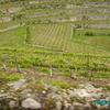 les vignes le long du rio Douro (2)