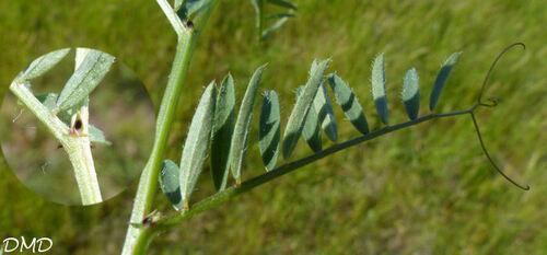 Vicia lutea  -  vesce jaune