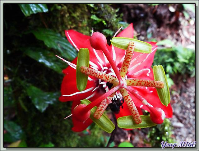 Blog de images-du-pays-des-ours : Images du Pays des Ours (et d'ailleurs ...), Fleur de la passion rouge (Passiflora vitifolia) - Puerto Viejo de Talamanca - Costa Rica