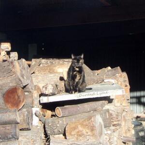 Boubou au soleil sur le tas de bois du voisin