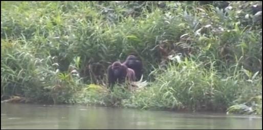 Retrouvaille sous émotion pour un gorille et son maître