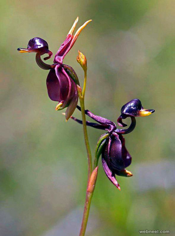 amazing flower amazings flying duck orchid