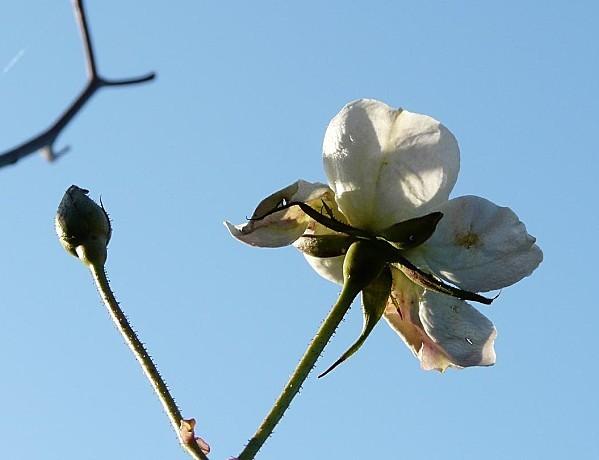 Rose-blanche--09-01-11-002.jpg