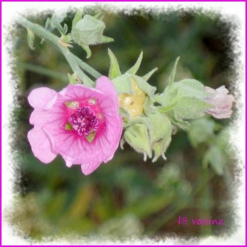 La balade rose