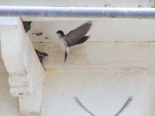 Les hirondelles ont niché dans les creux du toit de l'immeuble de Lomener. | Didier Masci
