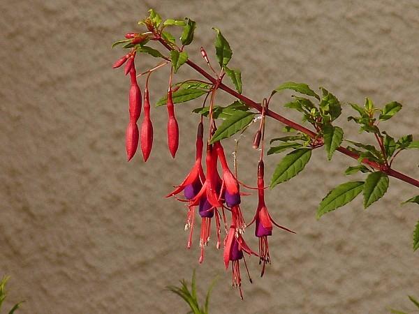 Fuchsia Ricartonii-02