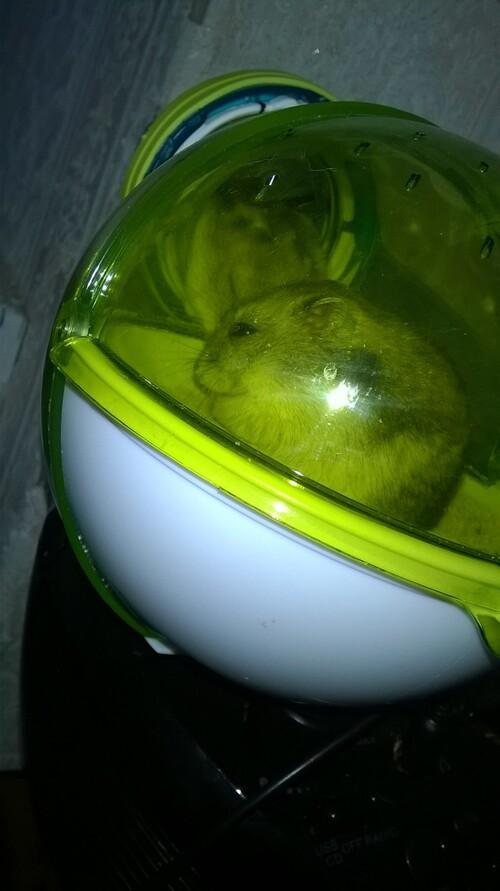 arrivée du hamster