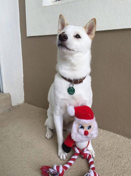 (-*♥*-)  Dingue de sa peluche, ce chien hallucine lorsqu'il découvre le vrai Père NoëlDingue de sa peluche, ce chien hallucine lorsqu'il découvre le vrai Père Noël