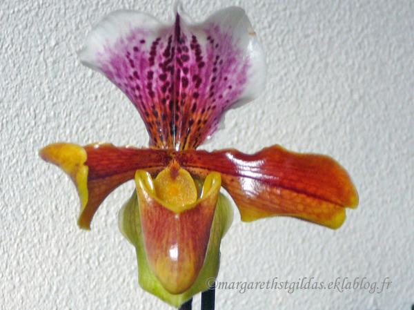 Orchidées - Orchis
