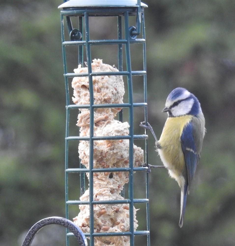 Les oiseaux de mon jardin : les mésanges bleues, printemps 2018...