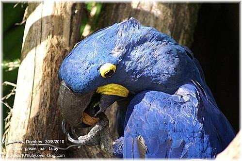 01 perroquet bleu 4