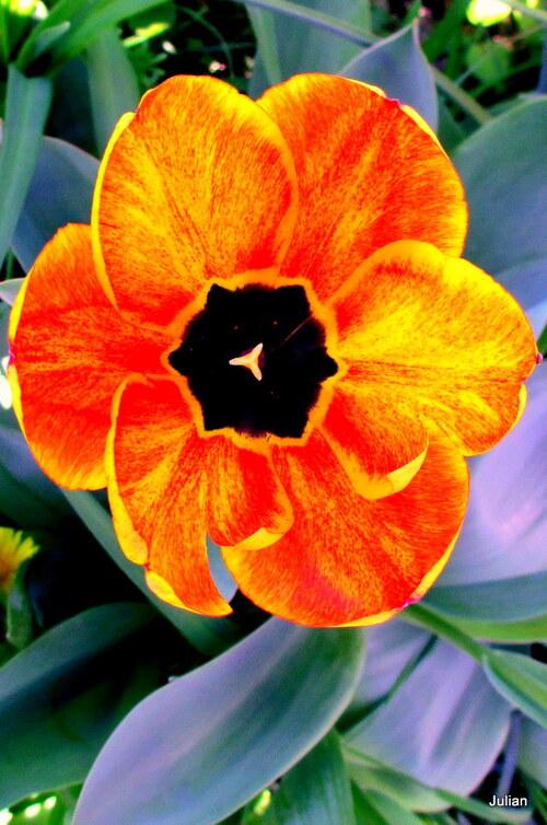 Les belles tulipes !