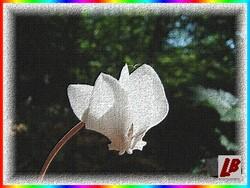La fleur des mâles