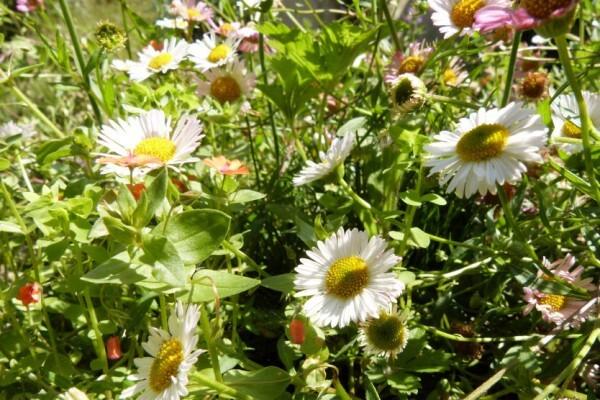 le-dallage-fleuri---juin-2014---erigerons.jpg