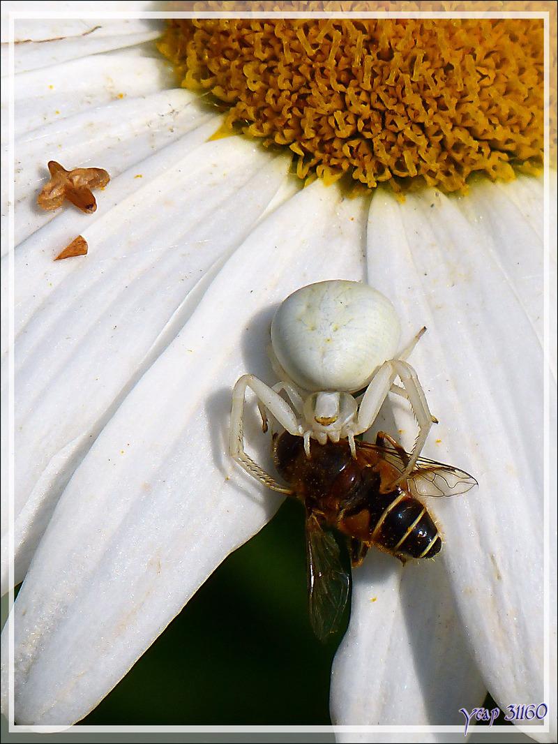 Araignée crabe Thomise variable (Misumena vatia) - Lartigau - Milhas - 31