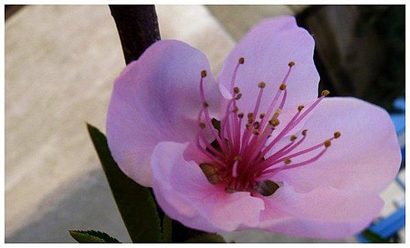 fleur-rose1.jpg