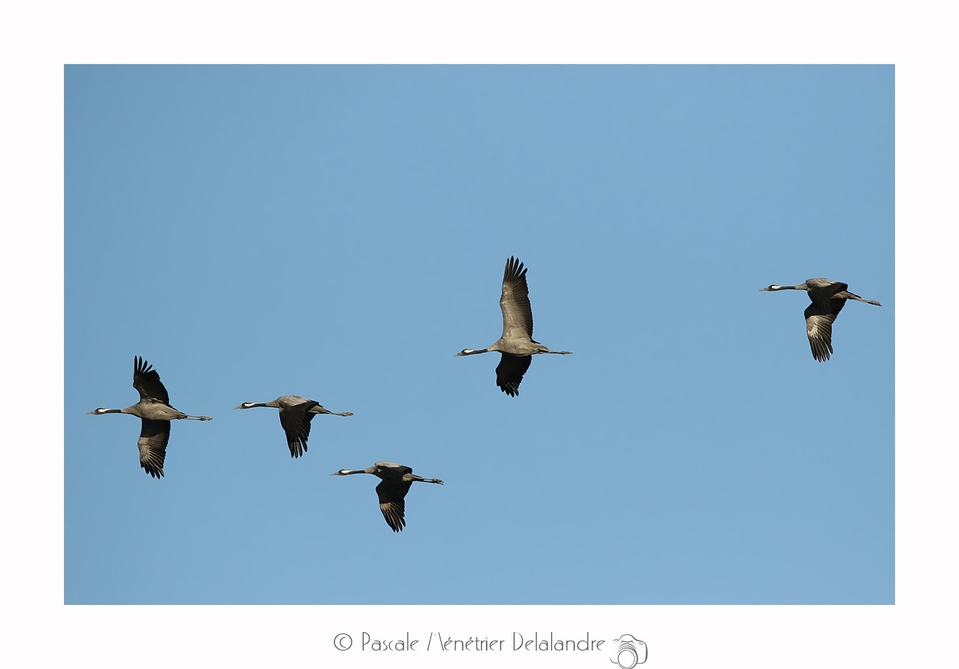 Dans le ciel de Camargue, les Grues cendrées...