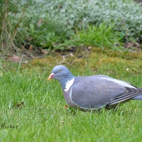 Pigeon Ramier .