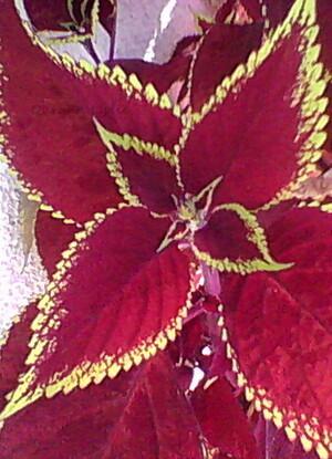 Coleus ou Coliole au feuillage rouge bordé de jaune