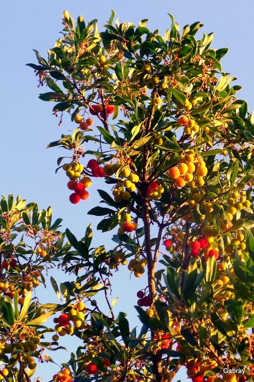 Des arbouses sur l'arbre