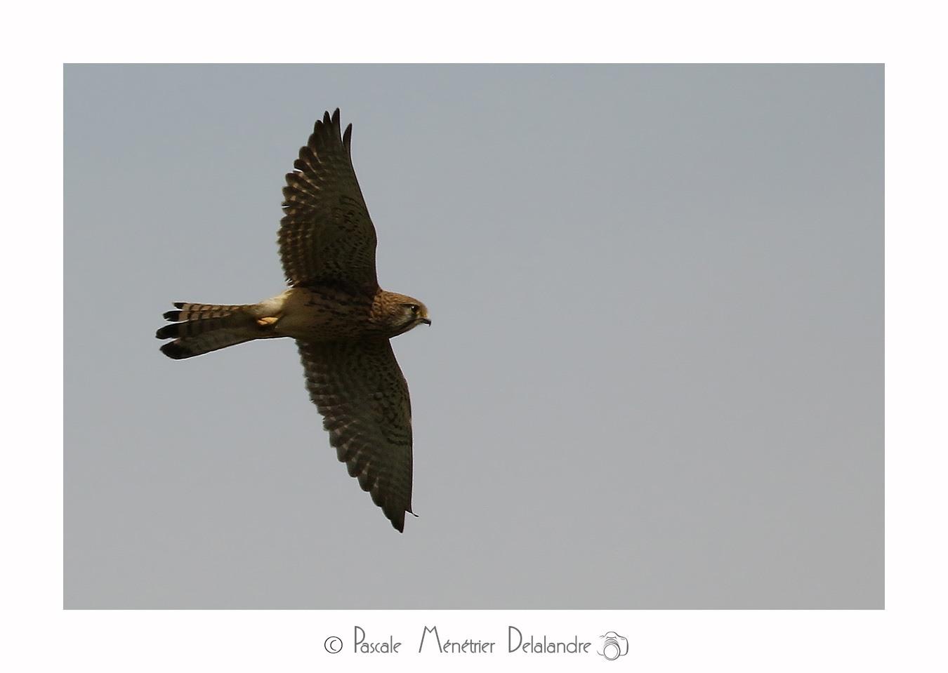 Faucon crécerelle ♀ & ♂ en nuptial