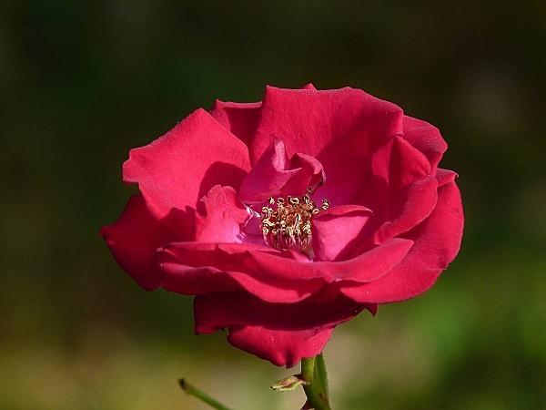 Rose-Guirlande Fleurie 03