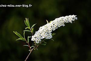 fleur d'arbre à papillon