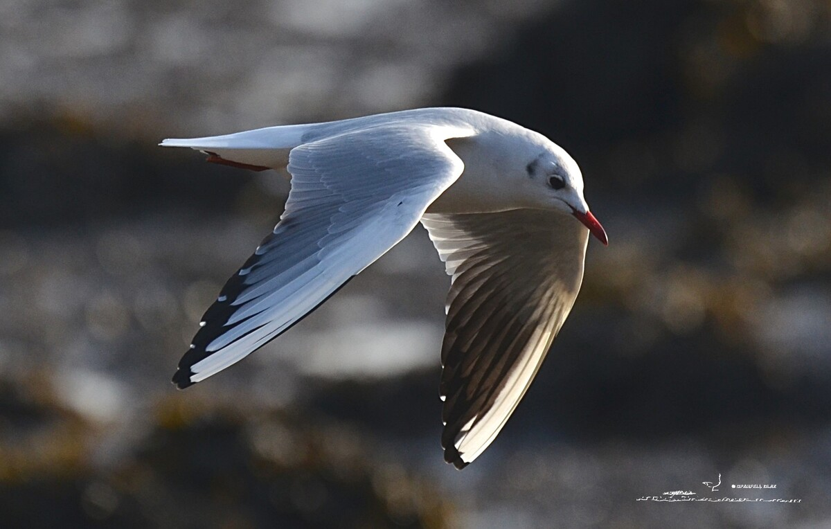 393 - Mouette rieuse