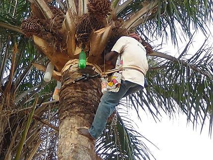 """Récolte """"vin de palme"""" : Oussouye : Casamance : Sénégal : Routard.com"""