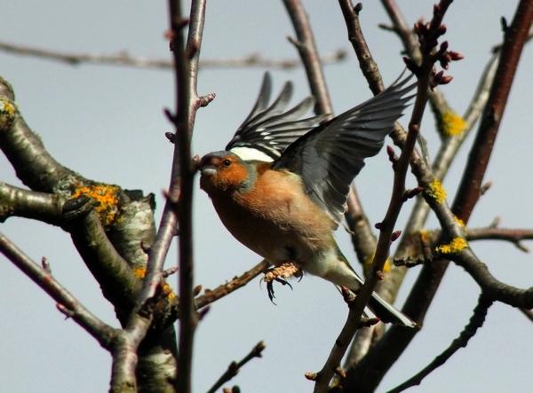 D'autres oiseaux visiteurs de mon jardin cet hiver...
